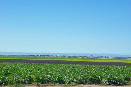 Artichoke and lettuce crops separated by land ready for new planting in californias coastal farmland.