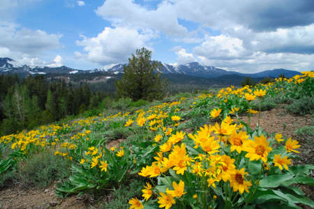 sierra: Yellow flowers cover a hillside at springtime with snow covered peaks in the background in the california sierra nevada mountains