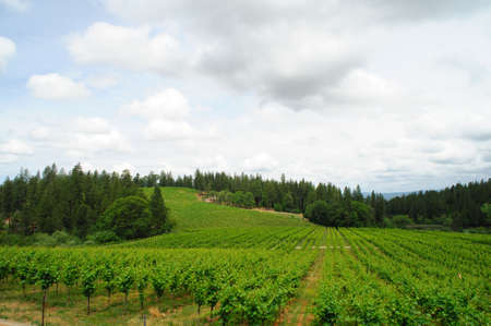New vine growth in a california sierra foothill vinyeard with pine and cedar trees in the background photo