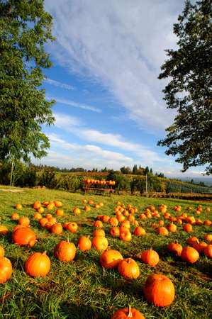 Pumpkins layed out in a farm grassy area available for sale to the public with rolling hills and orchards in the background with a bright blue sky.