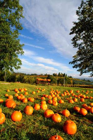 toppa: Zucche su cui fuori in una zona erbosa fattoria disponibile per la vendita al pubblico con dolci colline e frutteti in background con un cielo blu brillante.  Archivio Fotografico