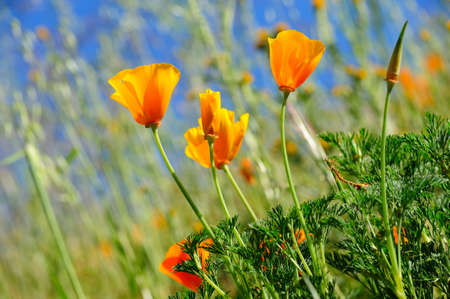 Orange California poppies are sure sign of springtime with a clear blue sky and wild grasses growing in the background