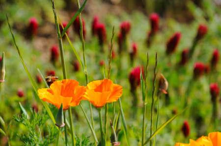 trifolium: Orange California poppies with colorful Crimson Clover scientific name Trifolium incarnatum (Fabaceae) in the background Stock Photo