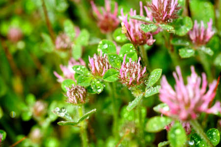 trifolium: Pink Clover flowers covered in water droplets after a spring rain