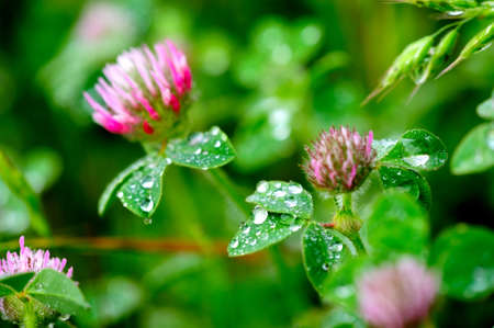 Pink Clover flowers covered in water droplets after a spring rain