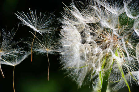 Up close view of a large white Dandelion puffball with the seeds flying away in a light breeze photo