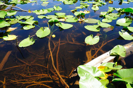 high sierra: Lily Pads floating on the crystal clear water of a high Sierra pond in the California Sierra Nevada Mountains