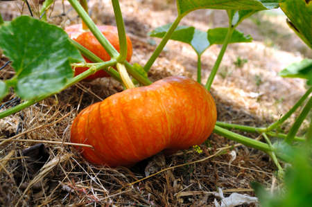 Cinderella Pumpkins growing on the vine almost ready for Halloween. These are an heirloom variety of the normal type of pumpkin. Archivio Fotografico