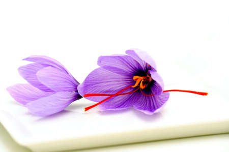 Fresh Saffron flowers known also as Crocus sativus used as a spice for flavoring and coloring food especially rice.