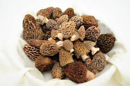 Morels are distinctive mushrooms and appear honeycomb-like in that the upper portion is composed of a network of ridges with pits between them. The ascocarps are prized by gourmet cooks, particularly for French cuisine.