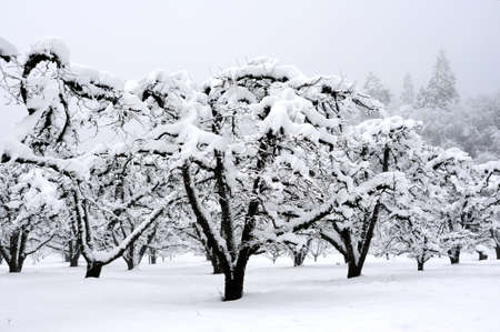 winter: Apple orchard with leafless trees covered in a winter snowfall with tall pines on the hillside