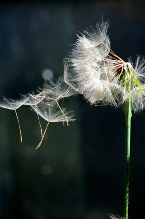 Single Dandelion seeds blowing off of the plant seed head against a dark background Archivio Fotografico