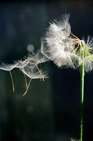 Single Dandelion seeds afblazen van de plant zaad hoofd tegen een donkere achtergrond Stockfoto
