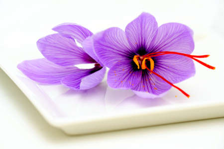Fresh Saffron flowers known also as Crocus sativus used as a spice for flavoring and coloring food especially rice