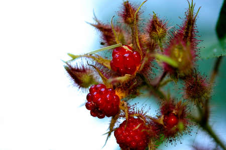 seaonal: Fresh red Raspberries on the plant with unopened raspberry buds