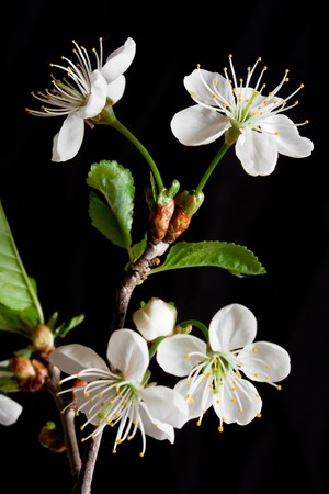 Beautiful flowers blooming cherry on a black background Stock Photo - 7028093