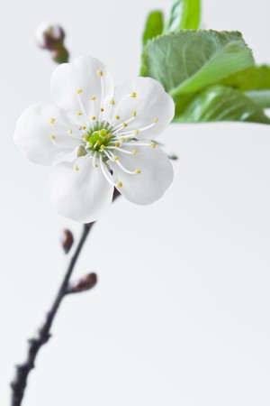 Beautiful flowers blooming cherry on a white background Stock Photo - 7028092