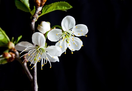 Beautiful flowers blooming cherry on a black background Stock Photo - 7028094