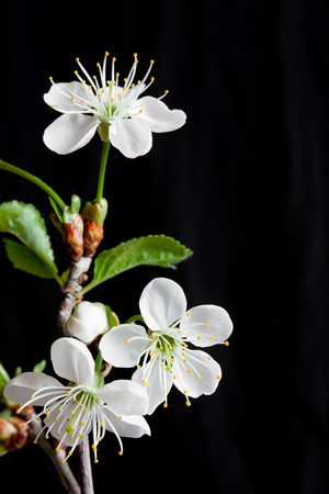 Beautiful flowers blooming cherry on a black background Stock Photo - 7028095