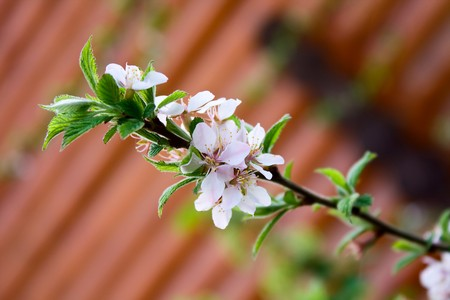 beautiful cherry blossom on a background wall Stock Photo - 7028236