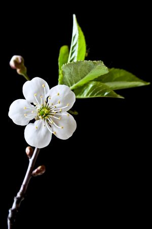 Beautiful flower blooming cherry on a black background Stock Photo - 7090220