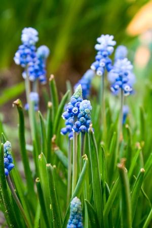 close up of beautiful bright colors hyacinth Muscari Stock Photo - 8419638