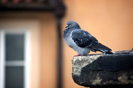 gray dove sitting on a rock against the window photo