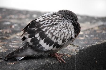 coo: pigeon