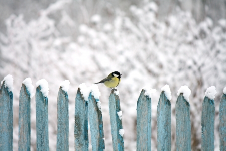 tom tit: tit sitting on a fence in winter