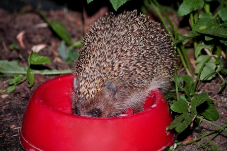 one hedgehog drink milk from a bowl Stock Photo - 15604556