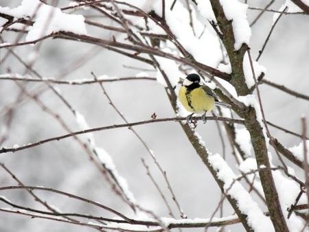 tom tit: great tit on a branch in winte