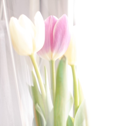 donative: blurry bright background of a few tulips