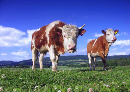 cud: Two cow on pasture Stock Photo