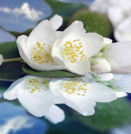 perianth: Jasmin flower reflection in waters.