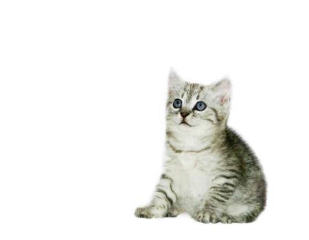 grey haired: Grey kitten on white background