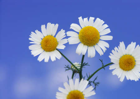 matricaria recutita: Camomilla - Matricaria recutita