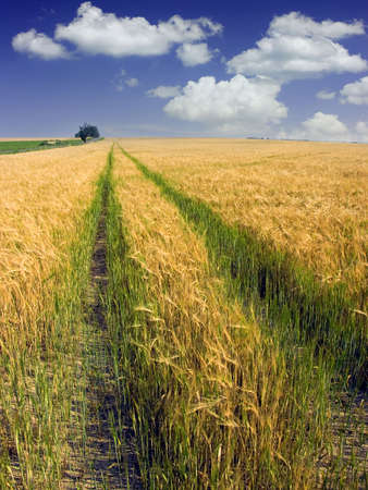 Yellow ripe field and green way in the summers Stock Photo - 2764545
