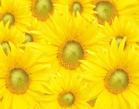Beautiful yellow Sunflower petals closeup Stock Photo - 3146780