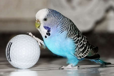 blue budgie playing football with golf ball Stock Photo