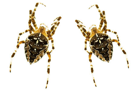 arachnophobia animal bite: spiders with a cross - Araneus diadematus in front of a white background Stock Photo