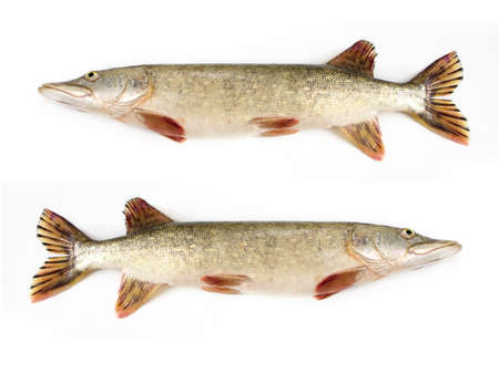 Raw pike isolated on white background Stock Photo - 3869299