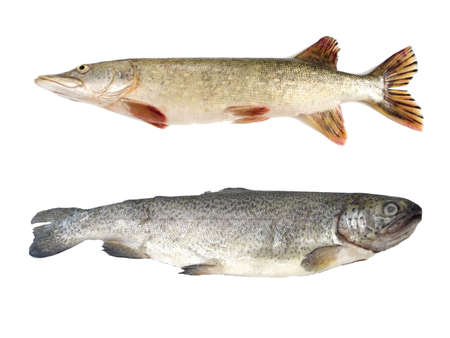 Raw pike and trout isolated on white background photo