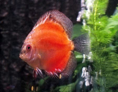 wildllife: This is Orange Discus or Symphysodan Discus photographed in an aquarium. Stock Photo
