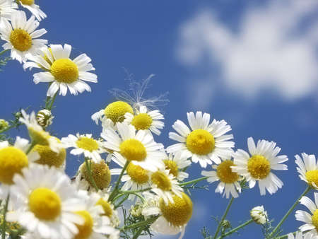 Camomile with blue sky - matricaria recutita