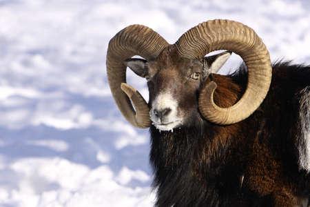 mouflon: detail head with antlers mouflon in winter on snow