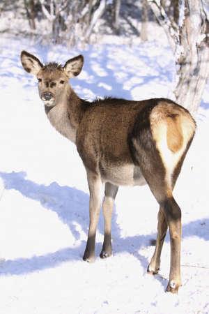 perceptive: capriolo, daino guardando in inverno sulla neve