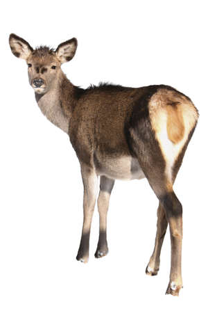 looking roe-doe in white background