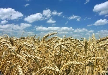 ripe corn with blue sky photo