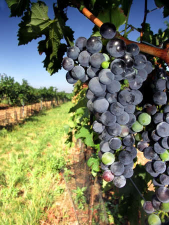 Czech Republic - Moravian ripe blue vine na vineyard photo