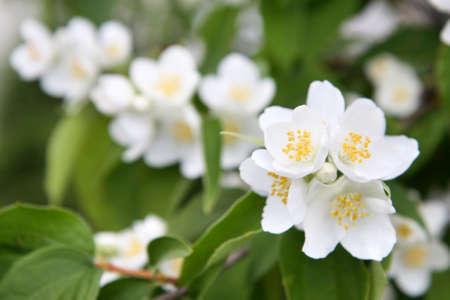 jessamine: fiori primaverili - fiore bianco gelsomino Archivio Fotografico